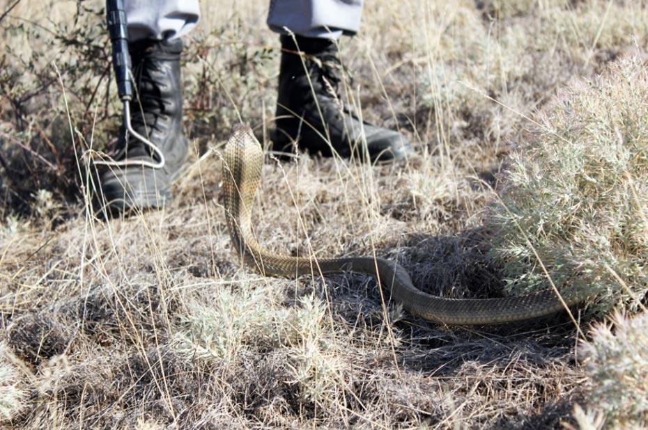 实拍哈萨克斯坦男子赤手捕毒蛇采毒液全过程