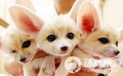 可爱的白狐狸 壁纸