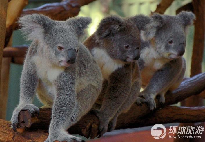 澳大利亚布里斯班 龙柏考拉动物园