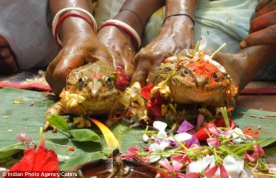 印度古老神秘求雨仪式:青蛙的婚礼(图)
