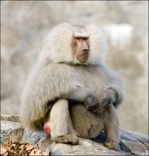 1995年法兰克福市向广州市民赠送了15只可爱的阿拉伯狒狒,经过十多年
