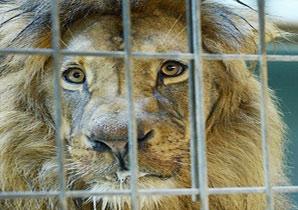 """柏林动物园狮子口吐白沫 疑遭游客""""投毒"""""""