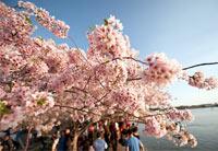 风光摄影:华盛顿樱花