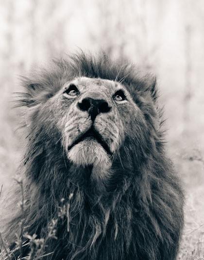 仰望天空的狮子.-非洲野生动物黑白照