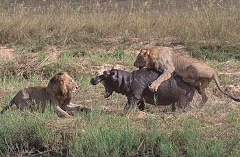 南非上演聪明狮子猎获河马大战
