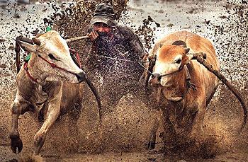 印尼举办水田赛牛庆祝丰收喜悦