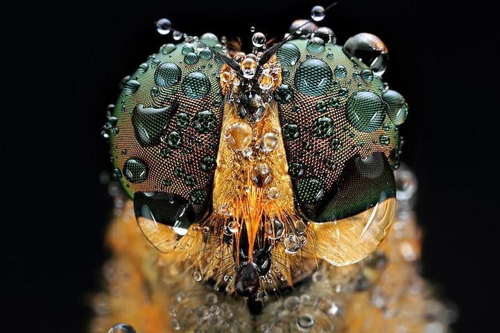 昆虫摄影:一双美丽的大眼睛