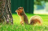 孔繁林:公园里的小松鼠
