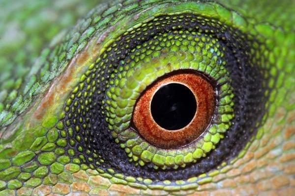 爬行动物的奇特眼睛