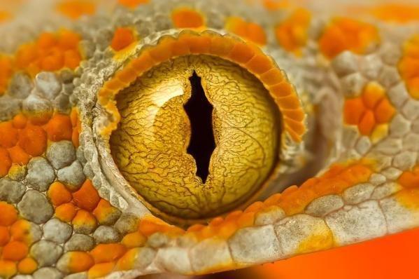 这只绝妙的眼睛属于大壁虎。这些特殊的壁虎是夜行性的而且在大眼中有着裂缝一样的瞳孔,瞳孔的颜色包括棕色、棕绿色、黄色以及橙色。在许多壁虎物种中虹膜的颜色是同身体颜色一致的,这就为它们提供了一种即使在明亮的日光下都能用的伪装能力。