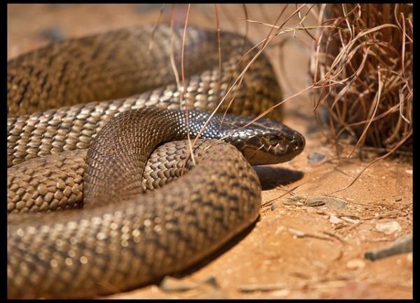 吞噬世界之蛇-世界12种最毒毒蛇图片