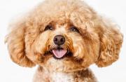 肖像摄影:狗狗证件照