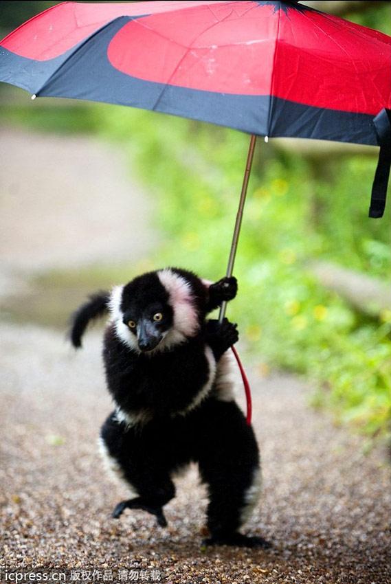 英国狐猴撑伞避雨逛大街   英国dudley动物园中的一只小狐猴十分
