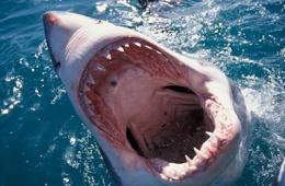 美国海滩出现成群大白鲨