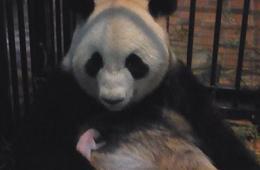 中国旅日熊猫幼仔夭折