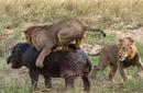 雄狮捕杀河马瞬间