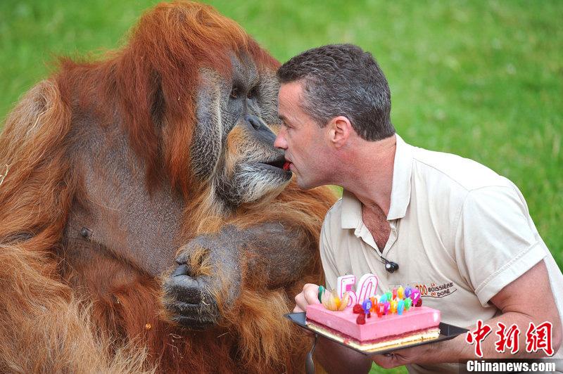 """法国动物园猩猩50岁生日 园长亲自喂蛋糕送""""舌吻"""""""