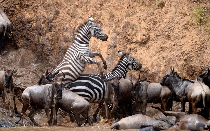 肯尼亚动物迁徙为避鳄鱼狂奔渡河