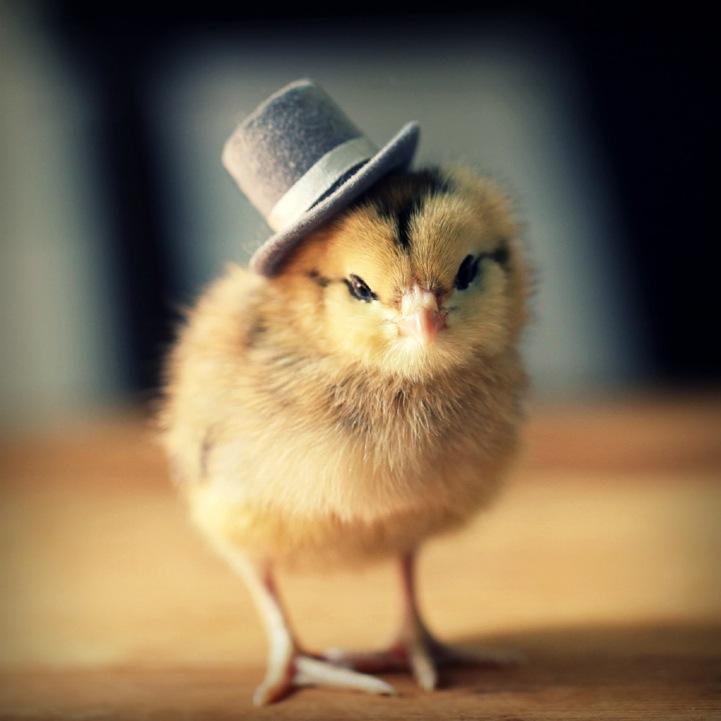 动物肖像:卖萌小鸡