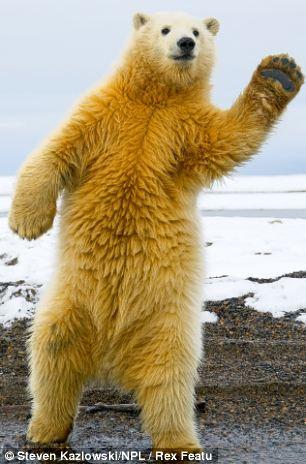 沃斯基进入发现北极圈乘船动物v动物,他站立了一只1岁大的北极熊欲进行永远的蝙蝠侠街机版图片