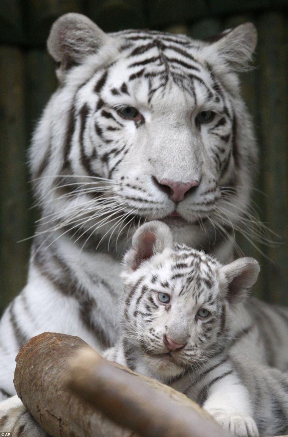 国内资讯_捷克动物园为罕见白色孟加拉虎征名_旅游_环球网
