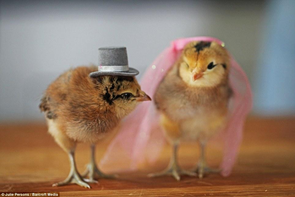 创意 范儿/摄影师为小鸡制作帽子创意十足(1/11)