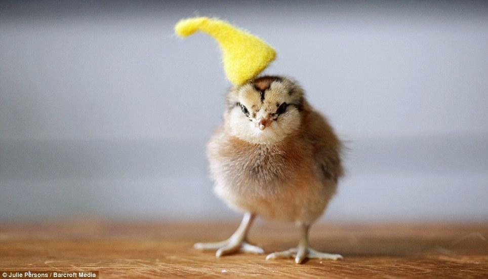 创意 范儿/摄影师为小鸡制作帽子创意十足(4/11)