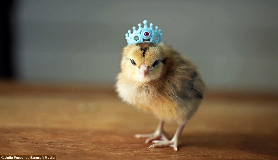 创意 范儿/摄影师为小鸡制作帽子创意十足(7/11)