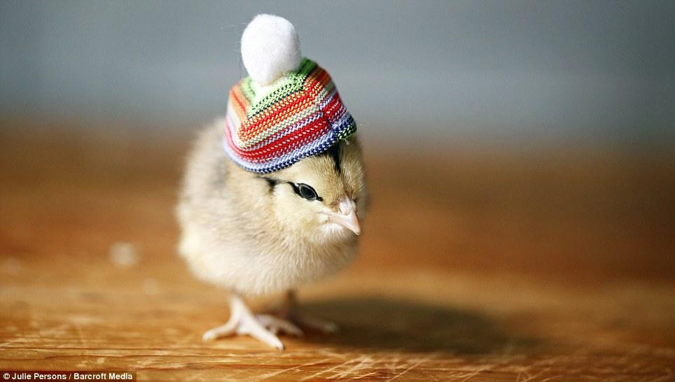 创意 范儿/摄影师为小鸡制作帽子创意十足(9/11)
