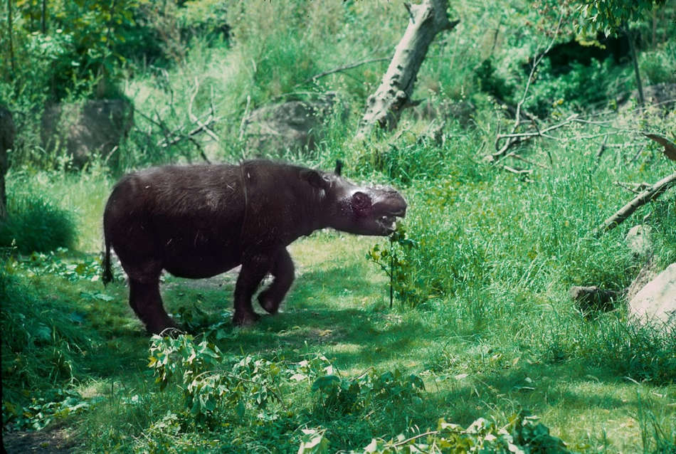 濒临灭绝的亚洲珍稀动物[8P] 9月5日在韩国济州岛的世界自然保护大会上,环保组织表示一些亚洲独有的野生动物正身处险境,如果各国不采取措施去保护它们,它们将面临灭绝的危险。   国际野生动物保护协会(Wildlife Conservation Society)公布了濒危动物名单老虎,猩猩,湄公河巨型鲶鱼,亚洲犀牛,亚洲巨型河龟以及亚洲秃鹰都榜上有名。该组织表示这一严峻的问题可依靠3个步骤来解决:承认,负责,恢复。   濒危物种名单上的每一类亚洲动物的生存都受到了多种因素的挑战,包括栖息地的丧失,非法捕猎