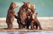 动物摄影:棕熊的世界