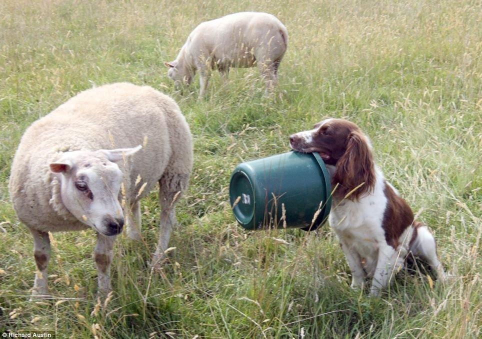 """牧羊犬/牧羊犬成羔羊""""奶妈""""(9/10)"""