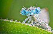 微距摄影:水晶蜻蜓