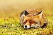 动物摄影:火狐