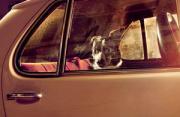 动物肖像:车窗里沉默的狗狗