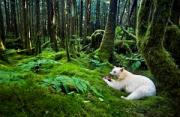 风光摄影:雨林里的白灵熊