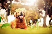 动物肖像:黄金猎犬