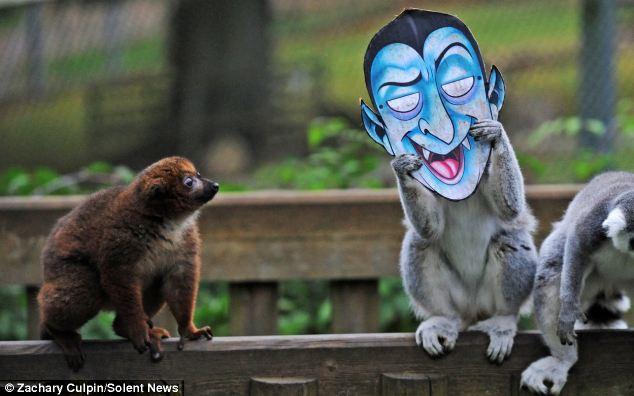 英国猴子过万圣节 面具南瓜一应俱全