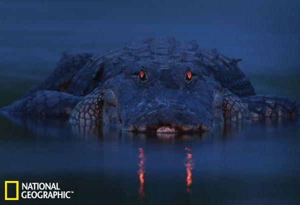 """北京时间10月29日消息,美国国家地理网站近日刊发了一组2012年度威立雅野生动物摄影大奖赛获奖作品,今年是该项赛事的第48个年头。威立雅野生动物摄影大奖赛共设18个奖项,包括""""野生动物摄影记者奖""""、""""动物肖像摄影奖""""等奖项。所有2012年度威立雅野生动物摄影大奖赛获奖作品将于2013年3月3日在伦敦自然历史博物馆进行展出。"""