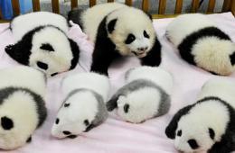 成都新出生的熊猫宝宝集体亮相