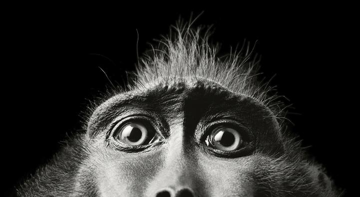 《超人类》是摄影师Tim Flach拍摄的一组动物肖像,他将人类性格融入动物自然的表情动作中,为作品赋予了新的亮点。   在拍摄中,Flach运用复杂强大的照明系统使动物身上的每一个细节都得以清晰展现。而如此近距离的视觉感受让读者不禁将这些动物的动作与人类某些行为联系起来。   为达到满意的效果,Flach和他的拍摄团队尽力为这些动物主角提供舒适的拍摄环境,包括温度、音乐、整体环境的安全感等。正如他所说,动物的情绪是永远无法预测的,所以必须提前计划好拍摄工作才能得到你想要的照片。