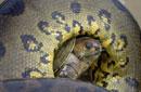 南美乌龟遭水蟒蹂躏