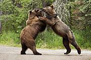 美国两只棕熊为抢午餐大打出手