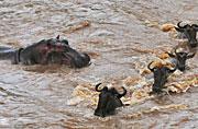 非洲角马大迁徙中意外遭河马攻击