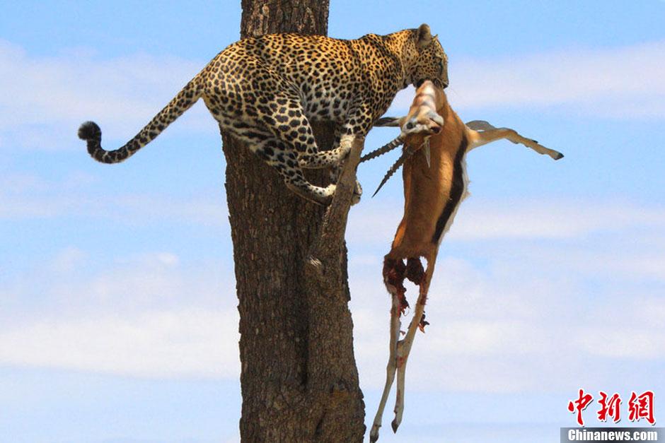 豹子享美食不忘看风景