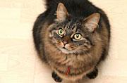 英超重猫咪节食6月体重掉一半