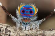 动物摄影:孔雀蜘蛛