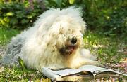 动物摄影:超萌英国牧羊犬