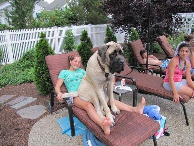 比人还高大的巨型萌犬