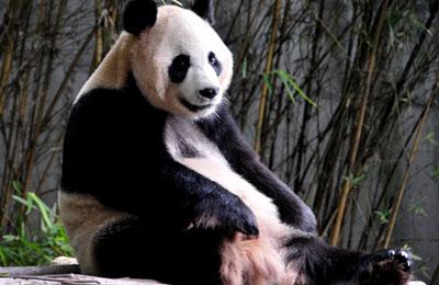 广州动物园国宝熊猫拜年忙